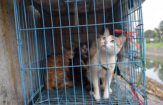 I gatti 'rapiti' finiscono nei ristoranti viet – IMMAGINI CHOC