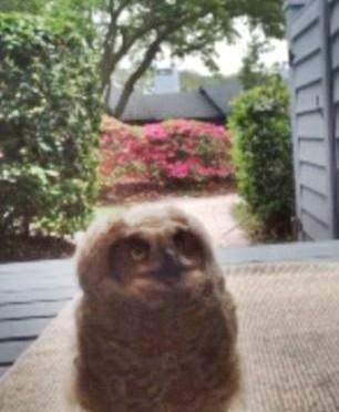 Indovina chi suona alla porta: un cucciolo di gufo – VIDEO