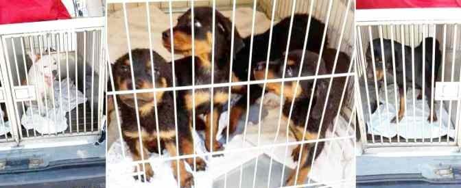 "Biella, spariti decine di cuccioli, associazione animalista denuncia Cinesi: ""Li mangiano"""