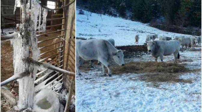 Altro che moduli abitativi: nemmeno stalle in zone sisma, mucche assiderate