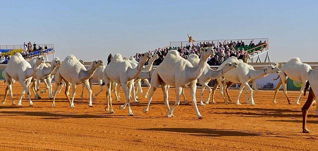 Miss Arabia 2017: si scegli il cammello più bello