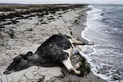 Le mucche arrivano dal mare: moria su spiagge danesi e svedesi