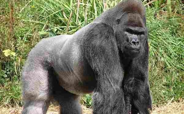 Gorilla è più 'umano' del previsto