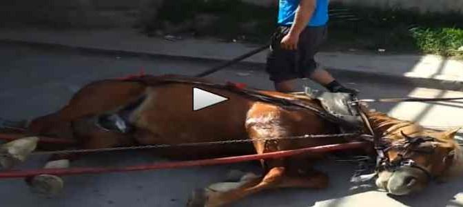 Rom bastonano cavallo, cade a terra – VIDEO CHOC