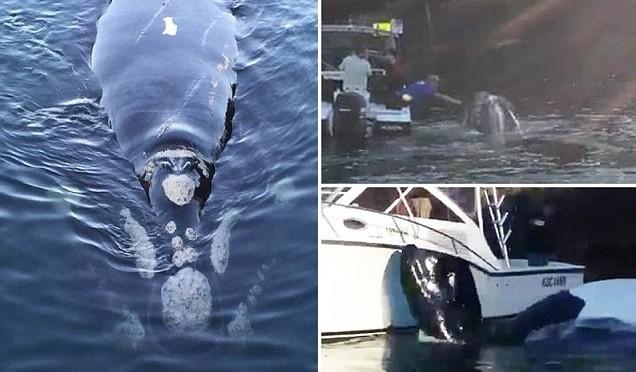 Balena con plastica in bocca 'chiede aiuto' a pescatori – VIDEO