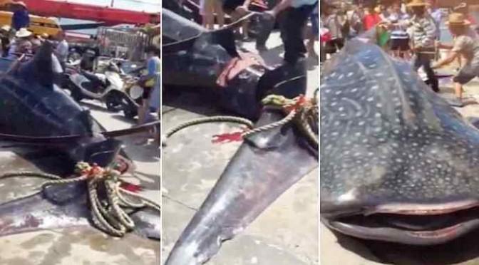 Balena fatta a pezzi mentre ancora viva – VIDEO CHOC