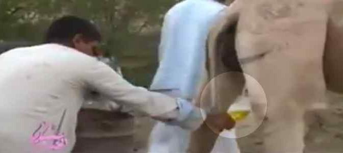 Usanze islamiche: bere piscio di cammello – VIDEO