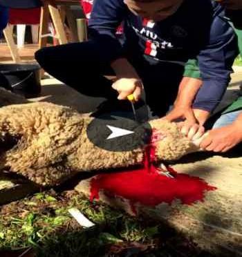Barbarie islamica: Profughi sgozzano pecora – VIDEO