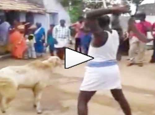 Tenta di decapitare capra: ecco cosa succede – VIDEO