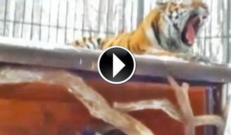 Cosa succede, quando una capra entra nel recinto di una tigre? No, non quello che pensi