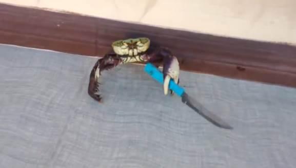 C'è un granchio armato! – VIDEO