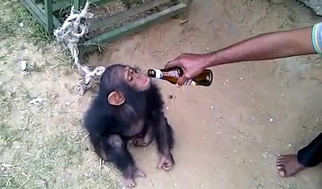 'Uomini' obbligano scimmiette a bere birra