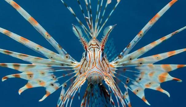 E' arrivata un'altra risorsa: il pesce scorpione