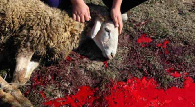 ISLAM IN ITALIA: 5.000 ANIMALI SGOZZATI VIVI IN UN GIORNO PER FESTA SACRIFICIO