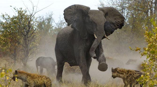 Trump salva gli elefanti: bloccato import trofei