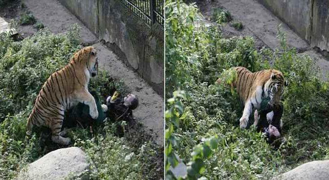 Dramma allo zoo, tigre 'mangia' guardiana – IMMAGINI CHOC