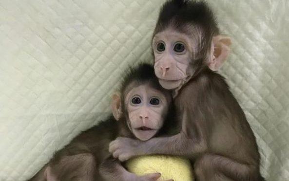 Cinesi clonano scimmie (e nessuno si offenda)