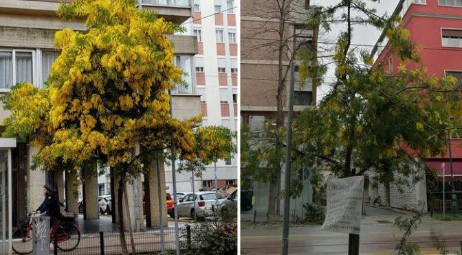 Immigrati razziano albero di mimose, come lo riducono per rivenderle – FOTO