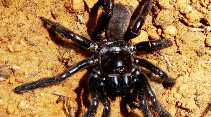 E' morto 'Number 16' il ragno più vecchio del mondo