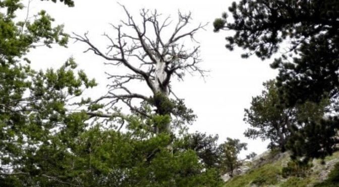 E' italiano l'albero più antico d'Europa: Italus