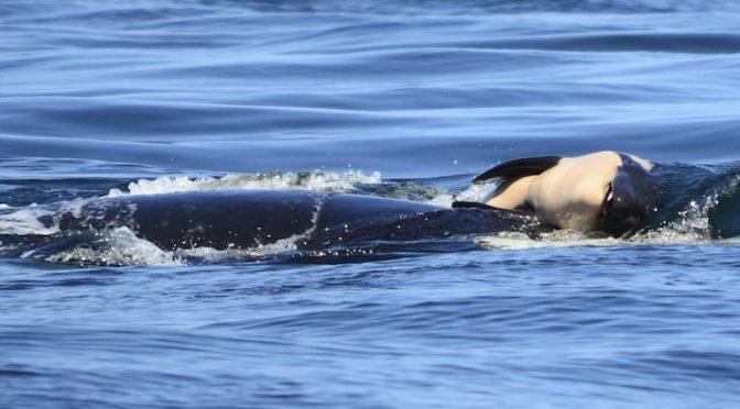 Mamma orca che non vuol lasciare andare il suo piccolo morto