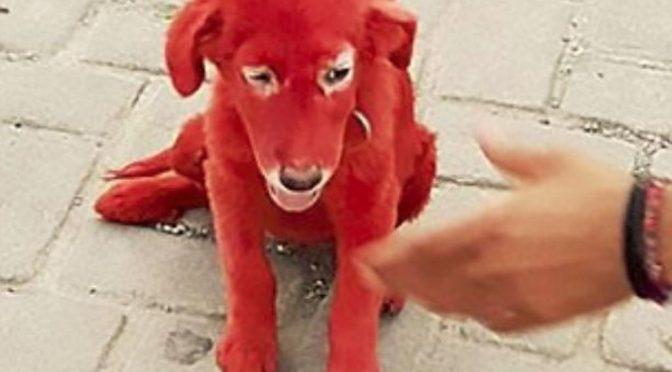 Scarlet, il cagnolino rosso salvato dalla cattiveria del profugo