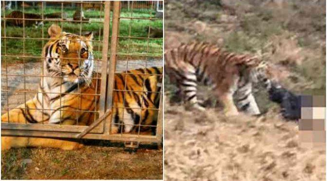Migrante entra nudo in gabbia tigri: sbranato, ma lo salvano