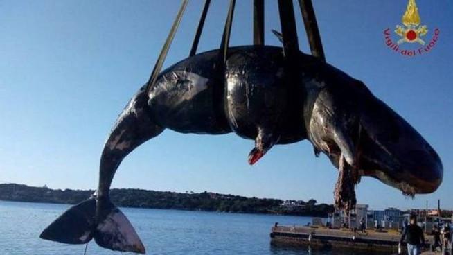 Nella pancia della balena un feto e 22 kg di plastica: l'abbiamo uccisa noi