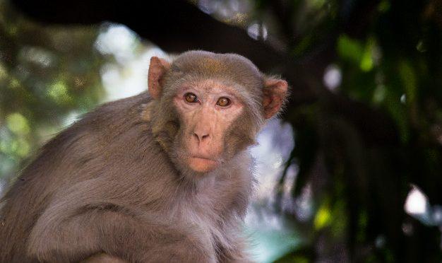 Scienziati creano scimmie con 'gene umano dell'intelligenza'