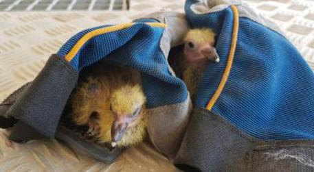 Due pulcini di colombo salvati da demolizione ponte Morandi