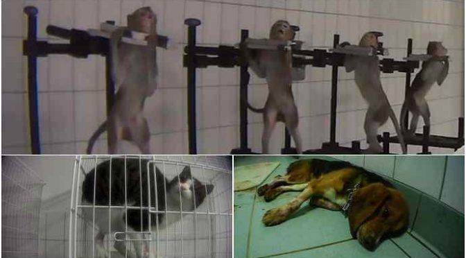 Animali torturati in laboratorio: scimmiette urlanti, cani e gatti sanguinanti e disperati