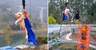 Cinesi lanciano maiale vivo nel vuoto per inaugurare parco divertimenti – VIDEO