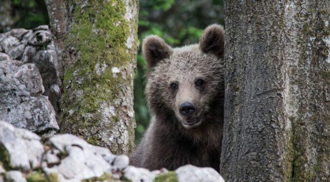 Trentino, l'orso papillon è di nuovo in fuga