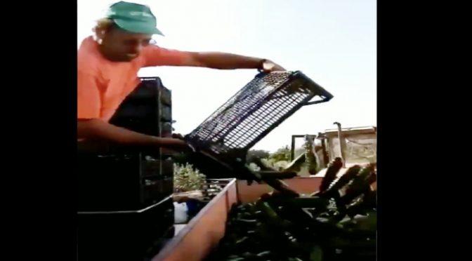 Altro che braccianti di Bellanova: agricoltore getta 100 quintali di verdura perché non si vende – VIDEO