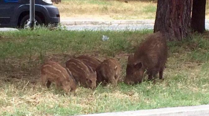 Zingaretti fa uccidere mamma cinghiale coi suoi cuccioli, proteste