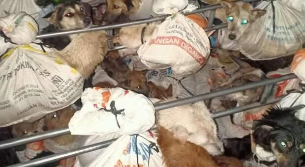 Carne di cane a tavola: la polizia blocca camion con 78 esemplari, 10 muoiono subito dopo il sequestro – Video